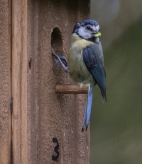 blue tit in box 3 II-1122