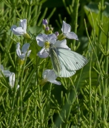 Green veined white-1511