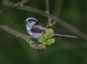 long tailed tit-1022