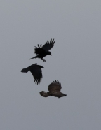 mobbed buzzard-9532