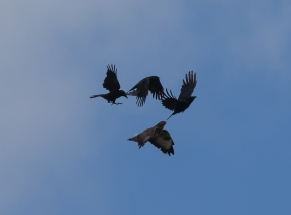 mobbed buzzard II-9552