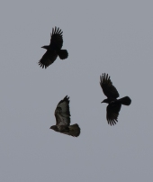 mobbed buzzard III-9598