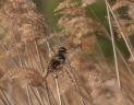 Sedge warbler-0063