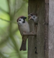 tree sparrow in No 2-1044
