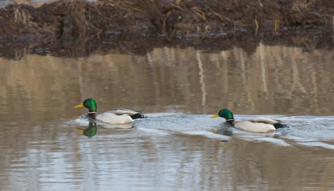 Pair of male Mallards-2391