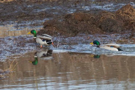 Pair of male Mallards chasing-2394