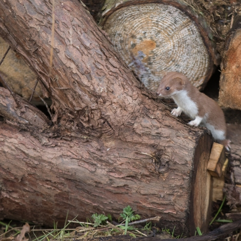 lumberjack (1 of 1)