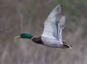mallard in flight mover II-4721
