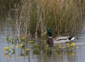 mallard in marsh marigold-4708
