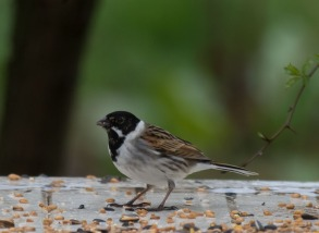 reed bunting-4544