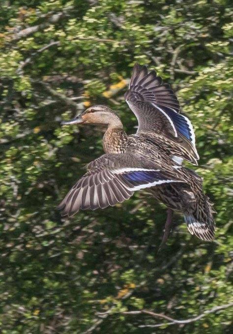 mrs mallard landing approach-5762.jpg