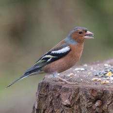 chaffinch (1 of 1)