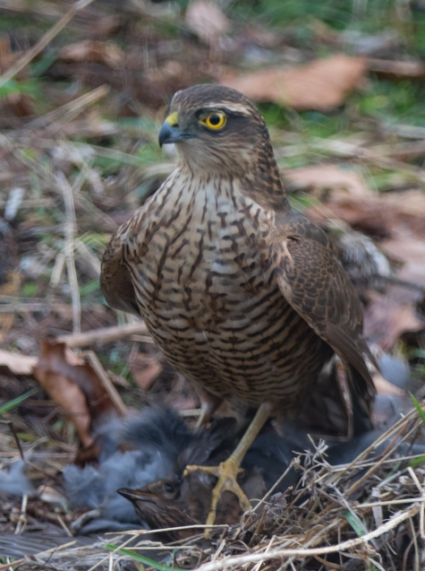 sparrowhawk with lunch (1 of 1)