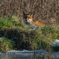 Fox hunting (1 of 1)