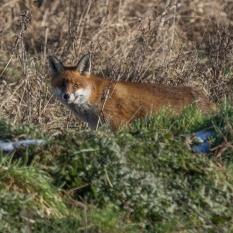 Fox hunting II (1 of 1)