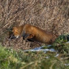 Fox hunting III (1 of 1)