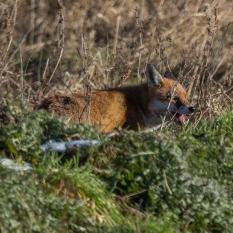 Fox hunting IV (1 of 1)