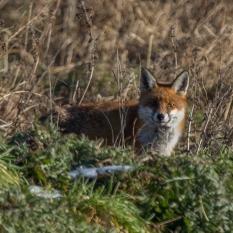 Fox hunting V (1 of 1)