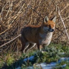 Fox hunting VI (1 of 1)