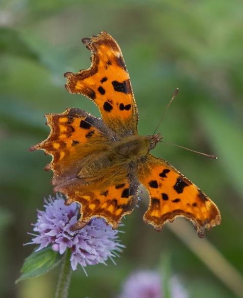 Comma on mint (1 of 1)