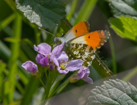 Orange tip (1 of 1)