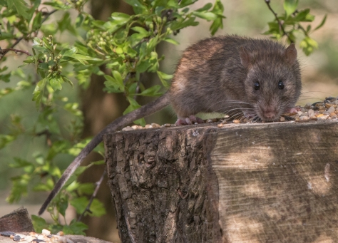 Ratty feeding (1 of 1)