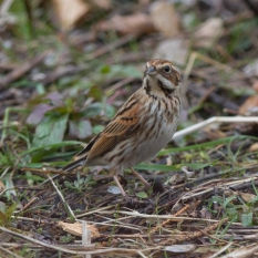 Feale Reed Bunting
