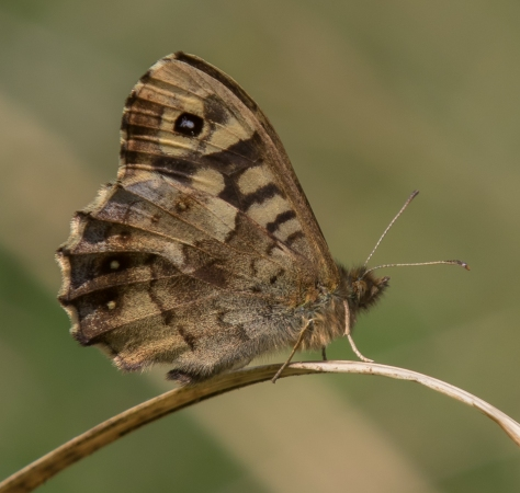 Speckled wood wings closed (1 of 1)