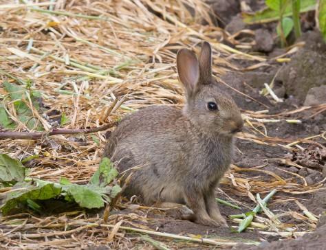 Bold bunny-0951