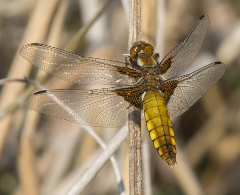 Female broad bodied chaser II (1 of 1)