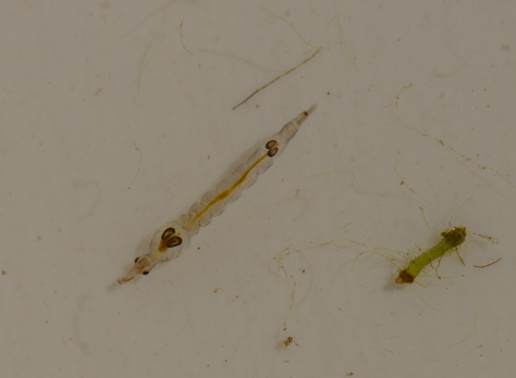 Phantom midge larva (1 of 1)