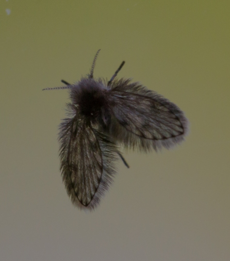 hairy little moth (1 of 1)