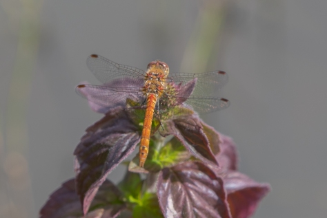 Male common Darter (1 of 1)