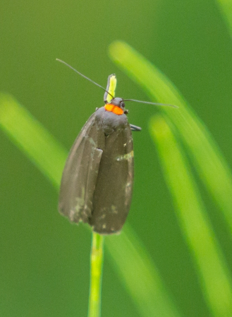 red necked footman IV (1 of 1)