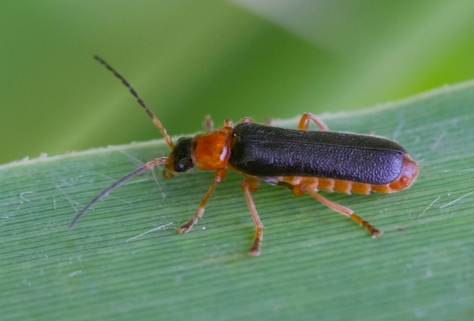 soldier beetle (1 of 1)