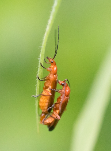 Soldier beetles mating (1 of 1)