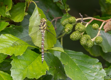 Southern Hawker on Alder (1 of 1)