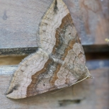 Carpet Moth (1 of 1)