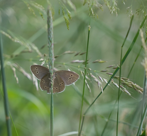 Ringlet on grass (1 of 1)