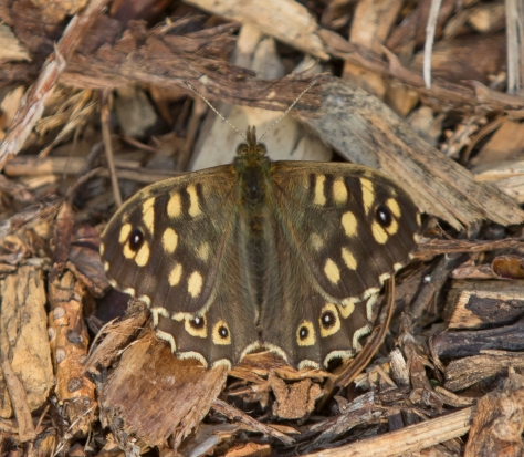 Speckled wood wings partial open (1 of 1)