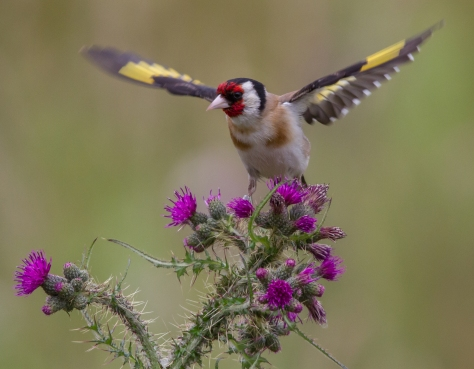 goldfinch of the north (1 of 1)