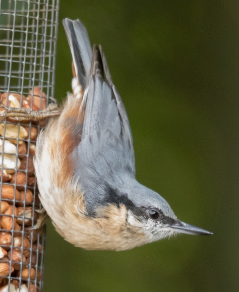 Nuthatch on nuts (1 of 1)