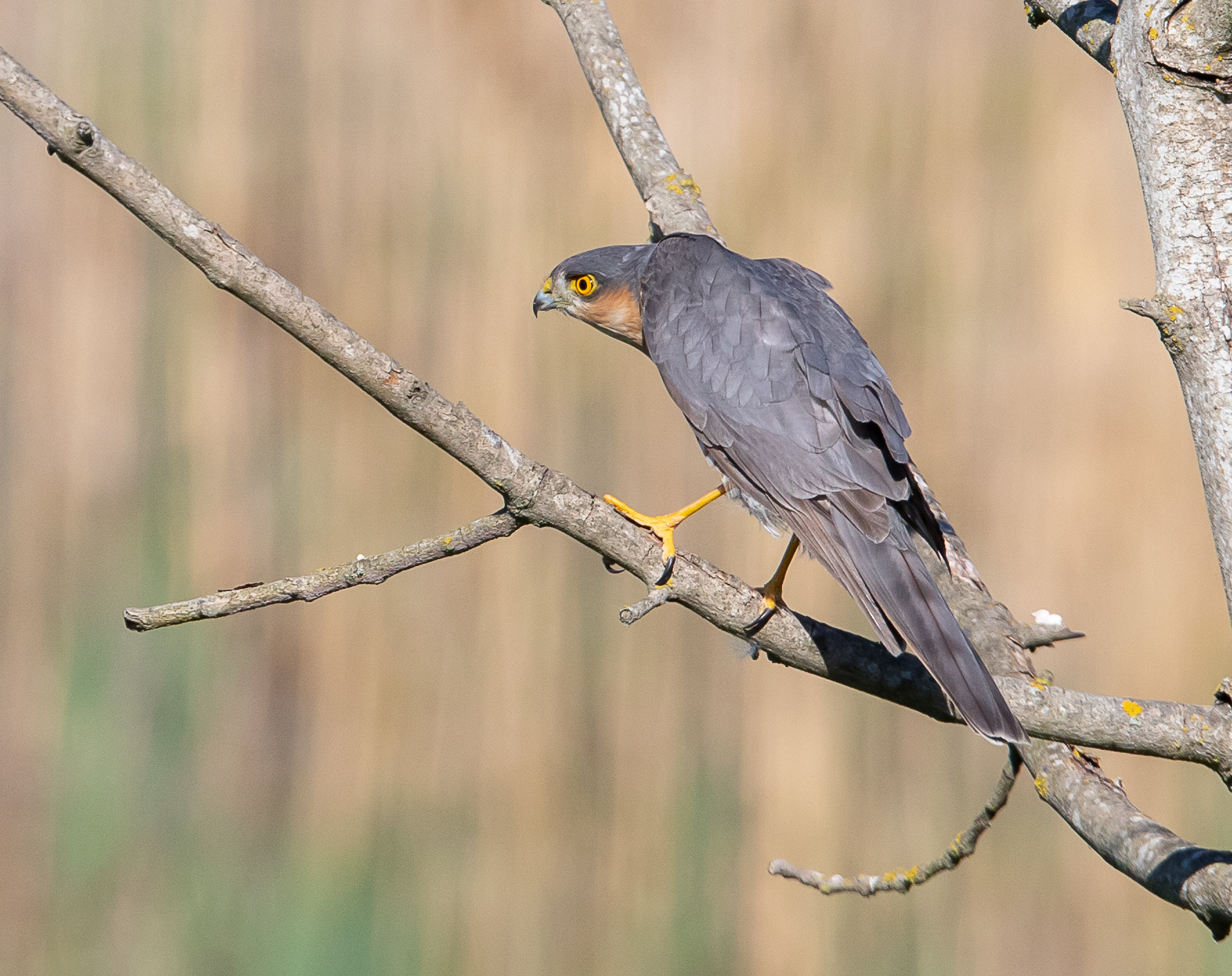 Alert Sparrowhawk -3567