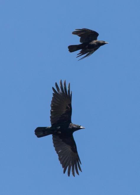 crow pair-1707