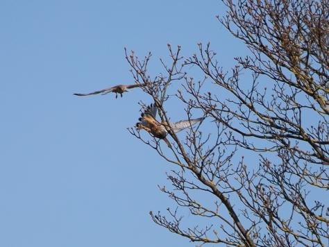 male and female sparrowhawks joisting II-1544