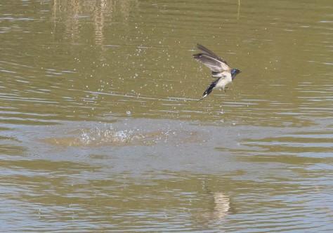 swallowsplash III-2215