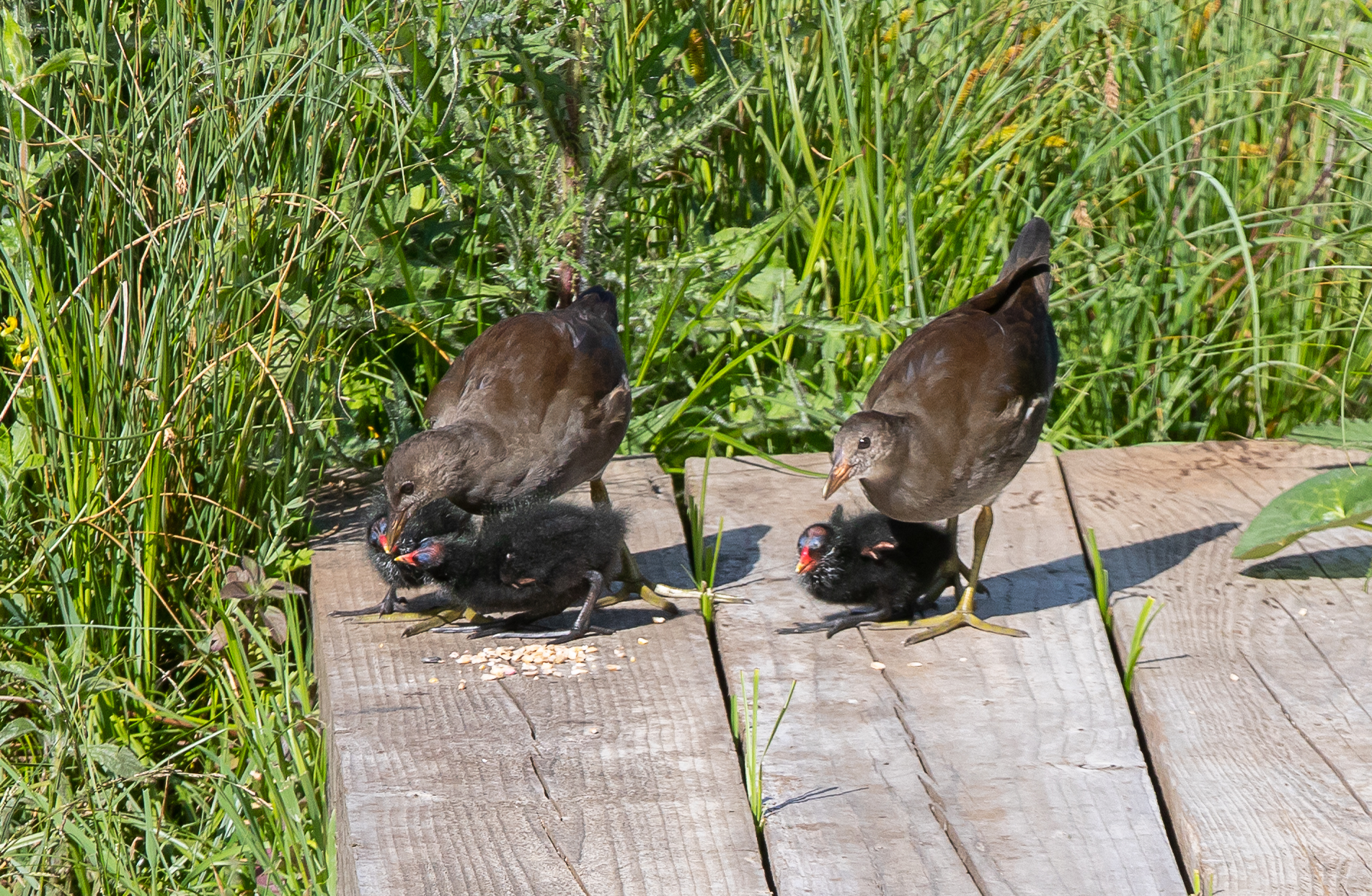 Moorhen chicks brood 1 and 2-3681