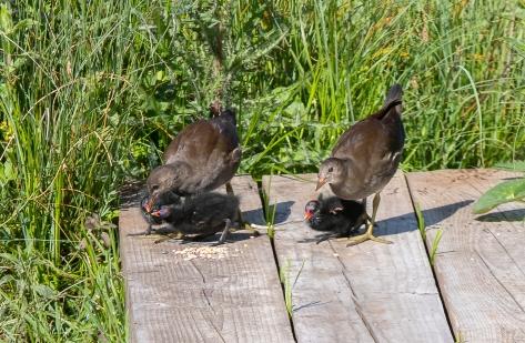Moorhen chicks brood 1 and 2-3681