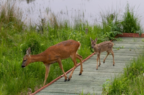 Mum and single fawn-9095