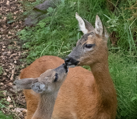 fawn with mother close up-0378